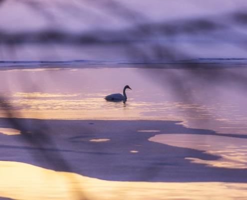 cygne sur lac couleurs dorées