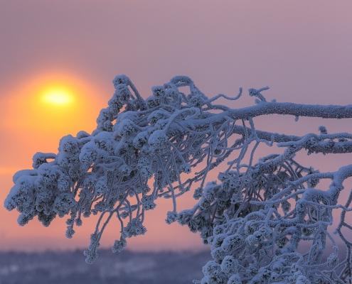 soleil et branche de sapin enneigée