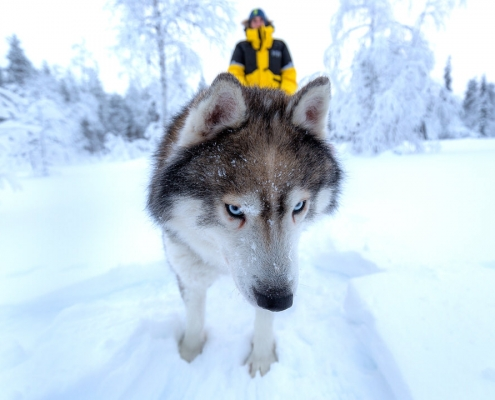chien de traineau dans la neige