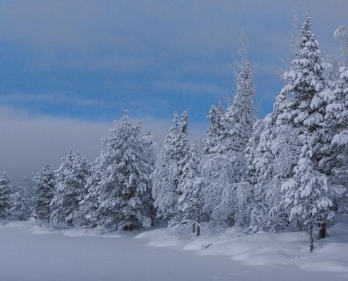 Sapins sur heure bleue dans la neige en laponie finlandaise